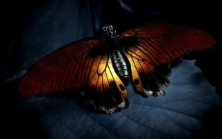 Orange butterfly wallpapers and stock photos