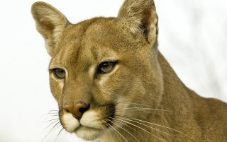 Wild cat wallpapers and stock photos