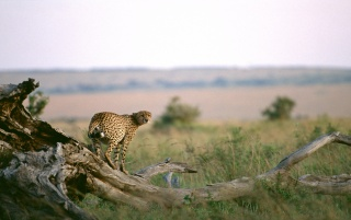 Cheetah on a log wallpapers and stock photos