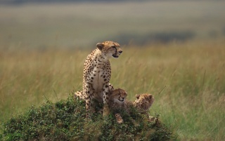 Cheetah and cubs wallpapers and stock photos