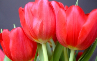 Random: Red Tulips photograph