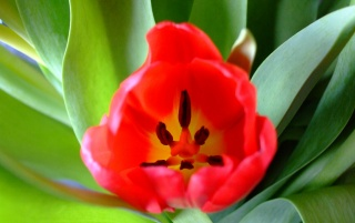 Red Tulips wallpapers and stock photos