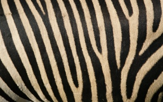 Previous: Zebra stripes