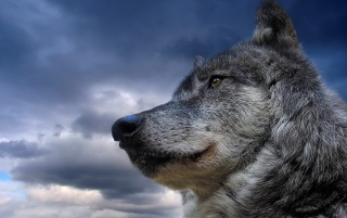 Retrato de un lobo wallpapers and stock photos