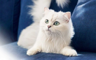 White cat wallpapers and stock photos