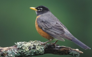 American Robin wallpapers and stock photos