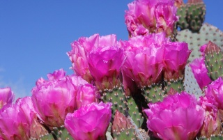 Beavertail Cactus wallpapers and stock photos