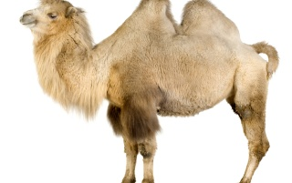Camel en blanco wallpapers and stock photos