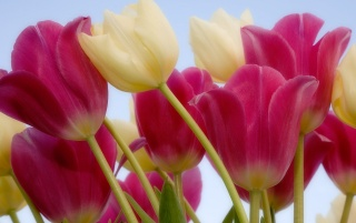 Random: Beautiful tulips