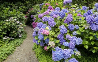 Strafford Hydrangea wallpapers and stock photos