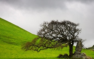 Lone Oak wallpapers and stock photos