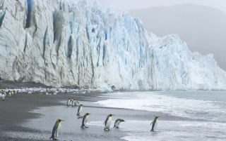 King Penguins wallpapers and stock photos