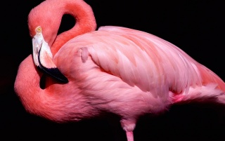 Flamingo posing wallpapers and stock photos