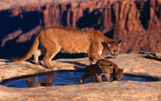 Random: Cougar and cubs