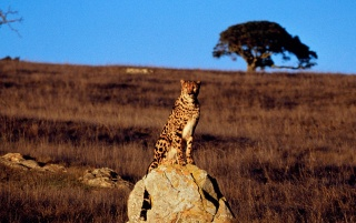 Guarding cheetah wallpapers and stock photos
