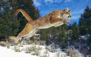Cougar jump wallpapers and stock photos