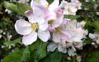 Apple Blossom I wallpapers and stock photos