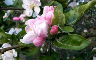 Apple Blossom II wallpapers and stock photos