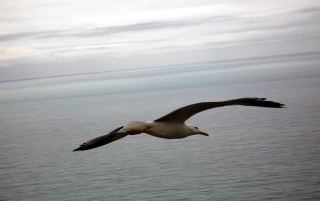 Gullin flight wallpapers and stock photos