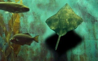 Sting Ray Samba wallpapers and stock photos