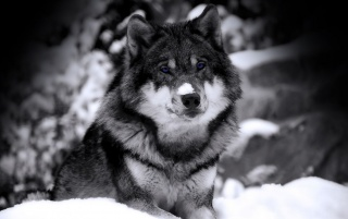 Previous: Wolf in snow