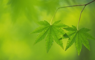 Two maple leaves wallpapers and stock photos