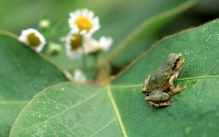 Frog on leaf wallpapers and stock photos