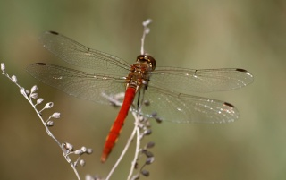 Previous: Red dragonfly