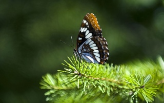 Butterfly pine leaves wallpapers and stock photos
