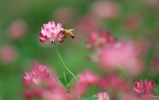 Bee and pink flower wallpapers and stock photos