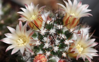 Cactus flowers wallpapers and stock photos