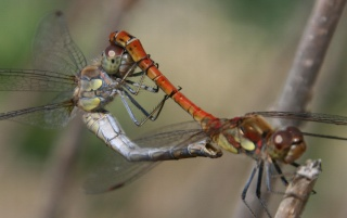 Dragonfly mating wallpapers and stock photos