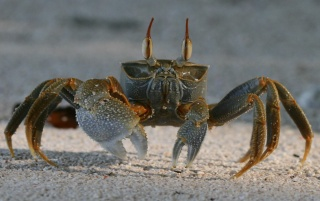 Sand crab wallpapers and stock photos