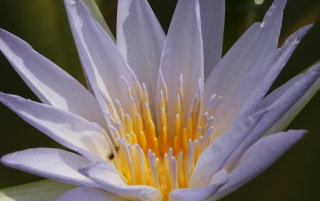 Nymphaea colorata wallpapers and stock photos