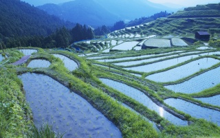 Rice fields wallpapers and stock photos