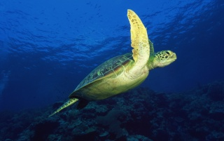 Sea turtle wallpapers and stock photos