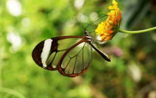 Glasswing Butterfly wallpapers and stock photos