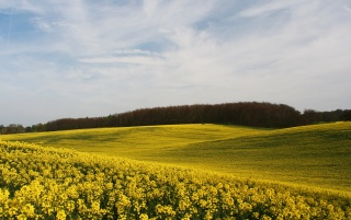 Yellow Field wallpapers and stock photos