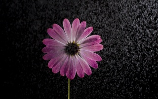 Osteospermum wallpapers and stock photos