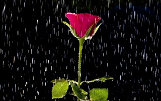 Rose and Rain wallpapers and stock photos