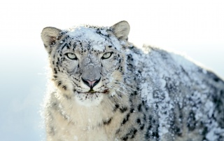 Nieve Leopard wallpapers and stock photos