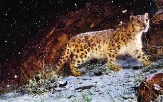 Snow Leopard Nieve wallpapers and stock photos
