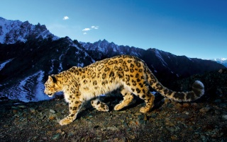 Snow Leopard Prowl wallpapers and stock photos