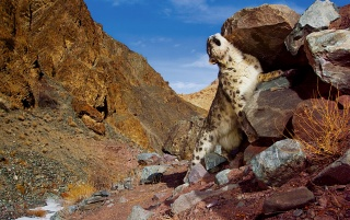 Snow Leopard Scratch wallpapers and stock photos
