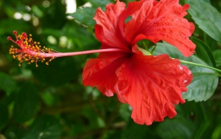 Hibiscus wallpapers and stock photos