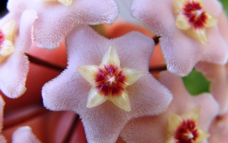 Hoya Carnosa wallpapers and stock photos