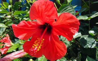 Hibiscus rosa-sinensis wallpapers and stock photos