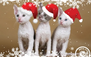 Kitten Christmas wallpapers and stock photos