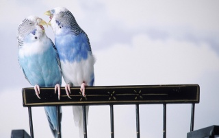 Love Birds wallpapers and stock photos