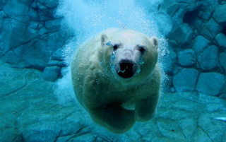 Swimming polar bear wallpapers and stock photos